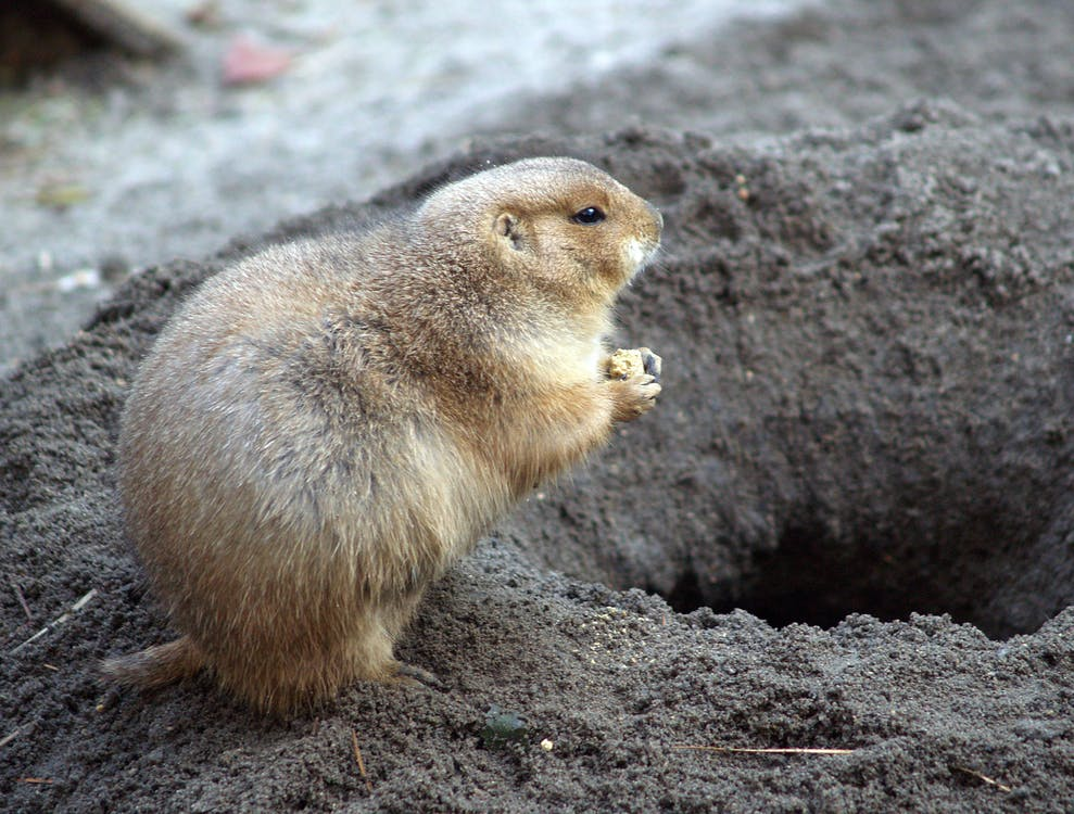 Free stock photo of animals, ground hog, rodent