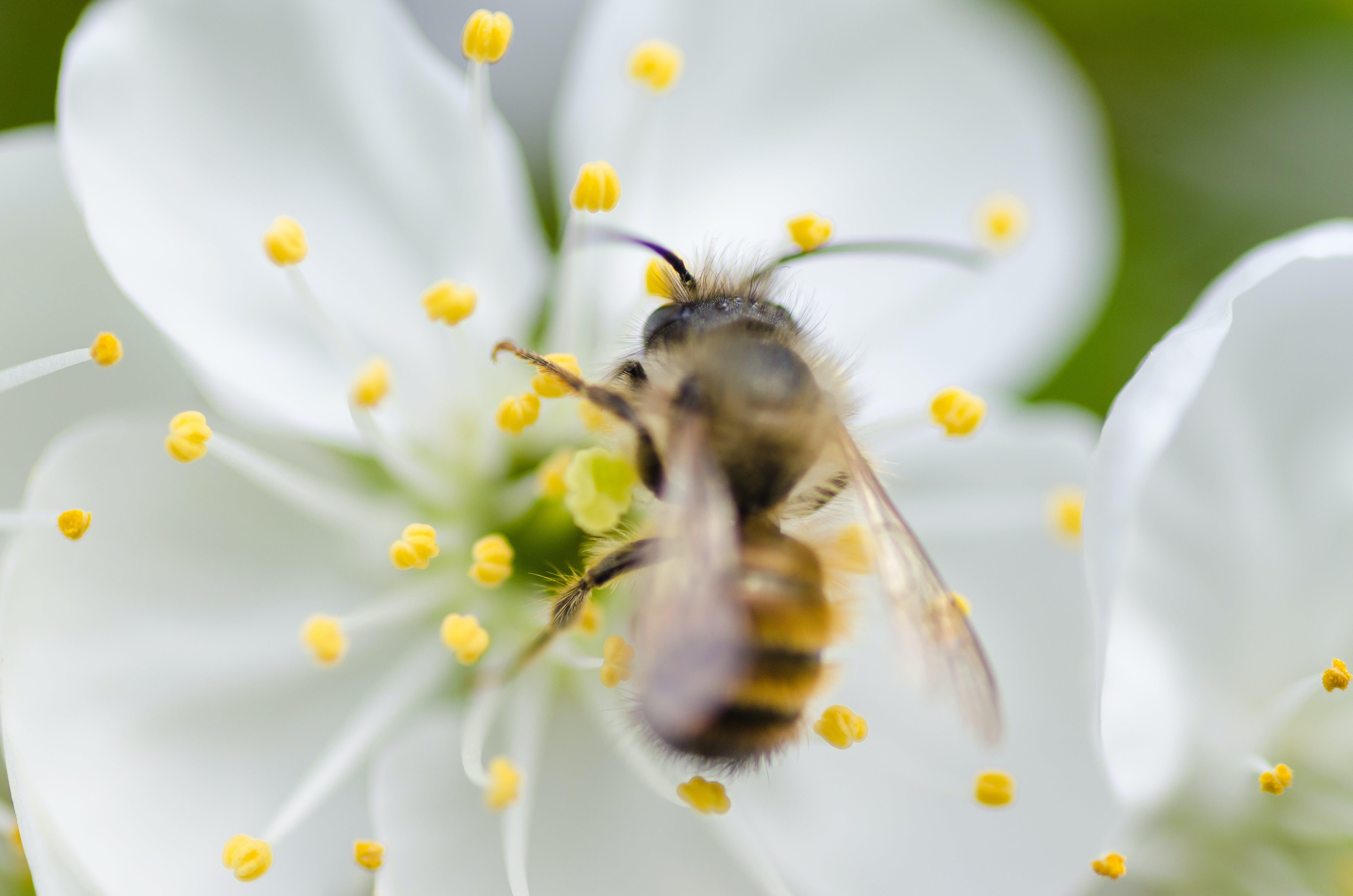 Brown Honey Bee on White Flower