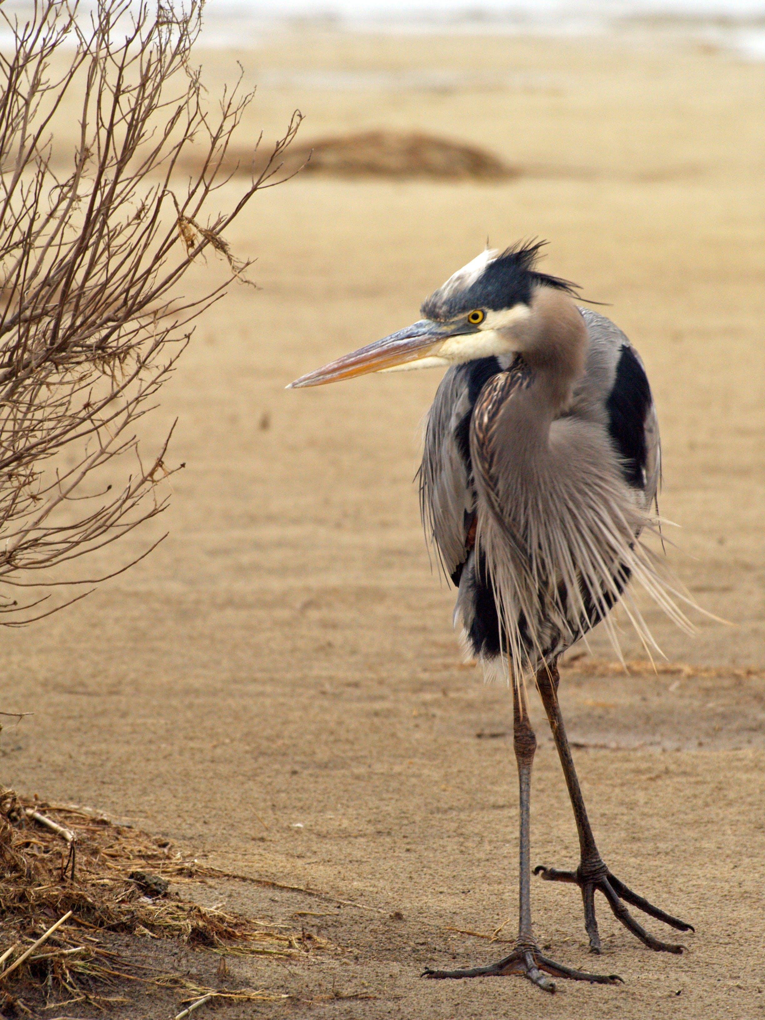 Základová fotografie zdarma na téma fotografování zvířat, modrá volavka, pobřeží ptáků, zvíře