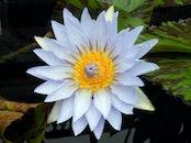 blue, garden, flower