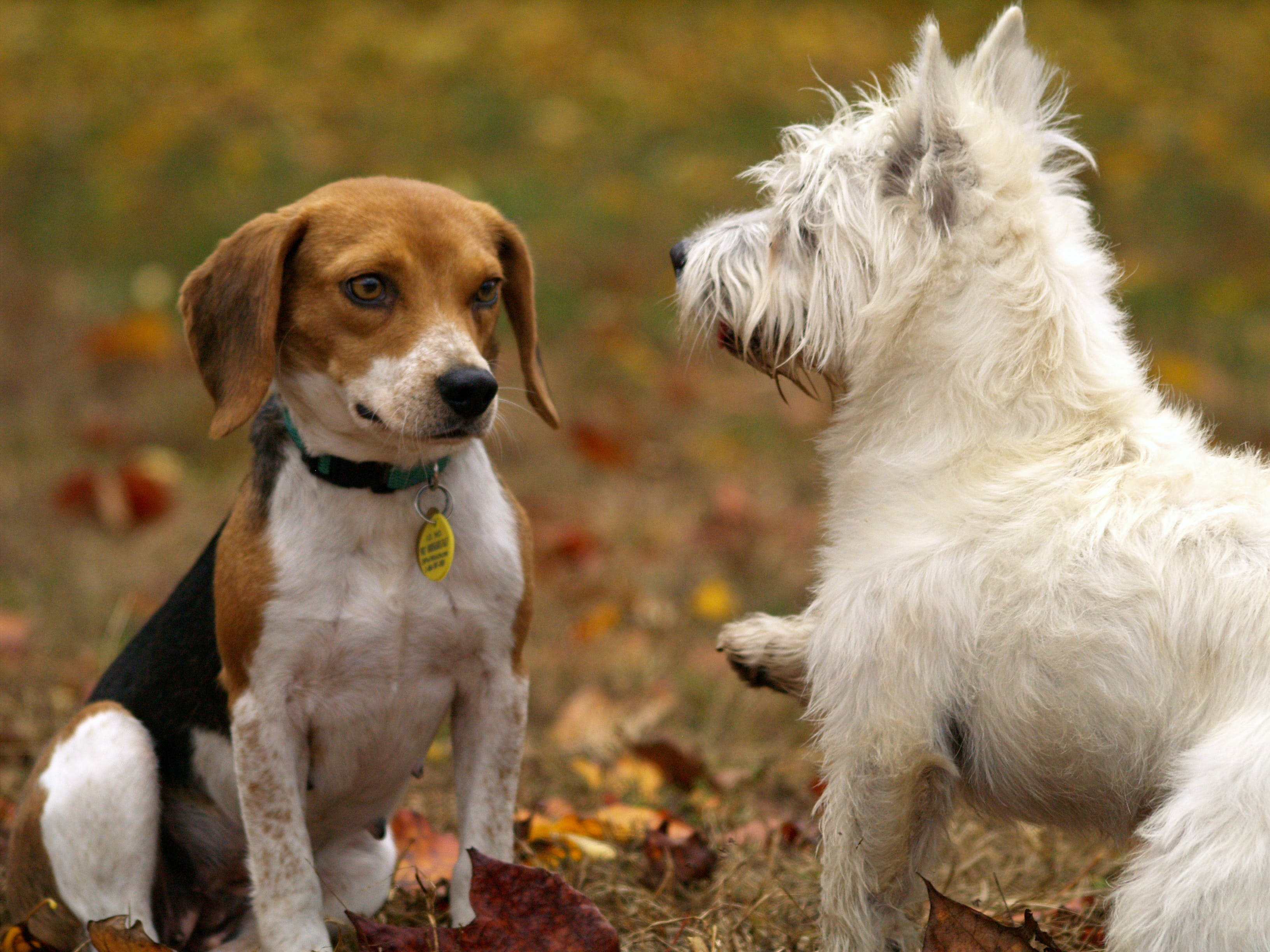 Tri-color Beagle and West Highland White Terrier Puppies Playing on Lawn Grass