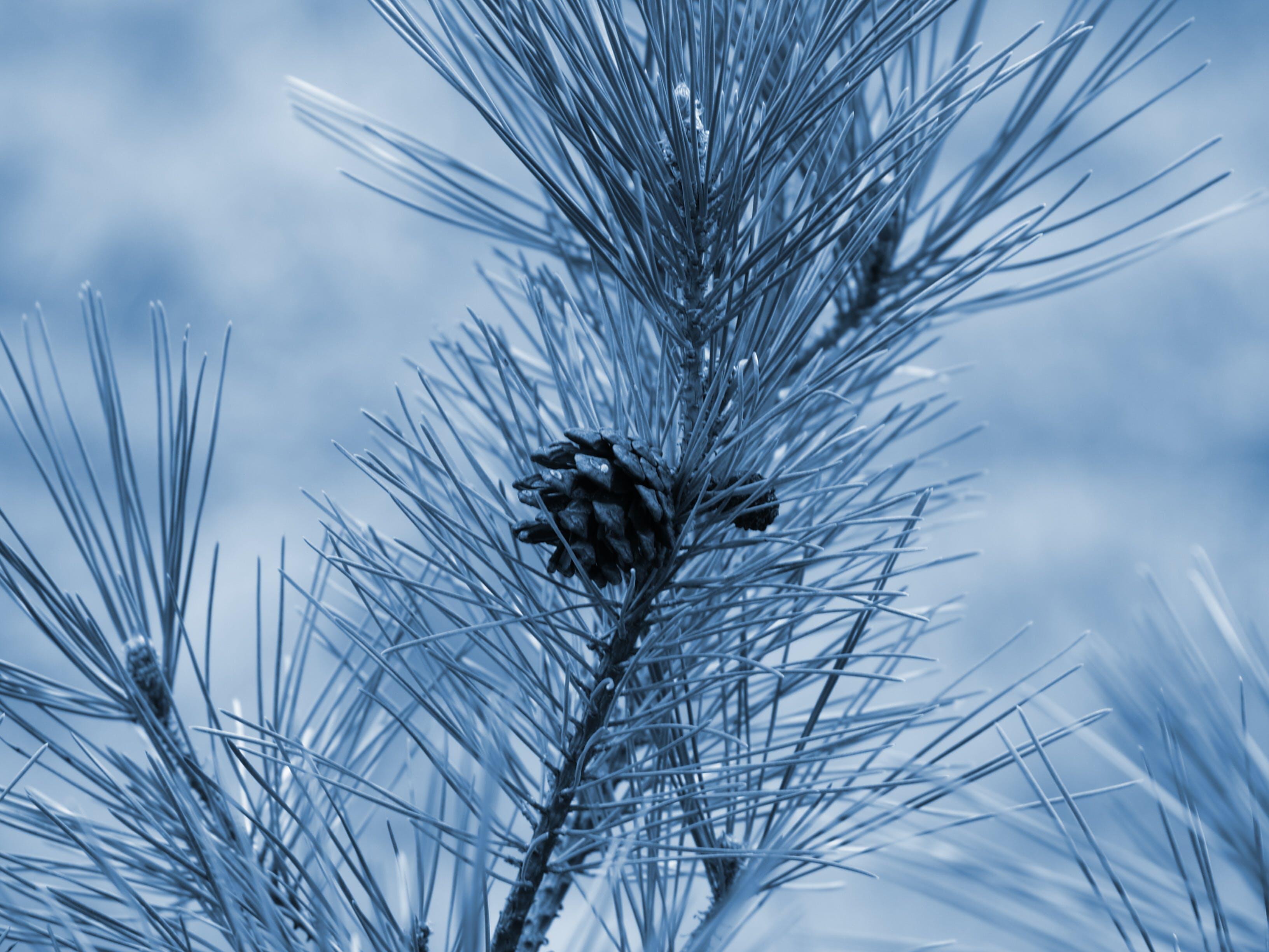 Free stock photo of blue, pinecone, trees, winter