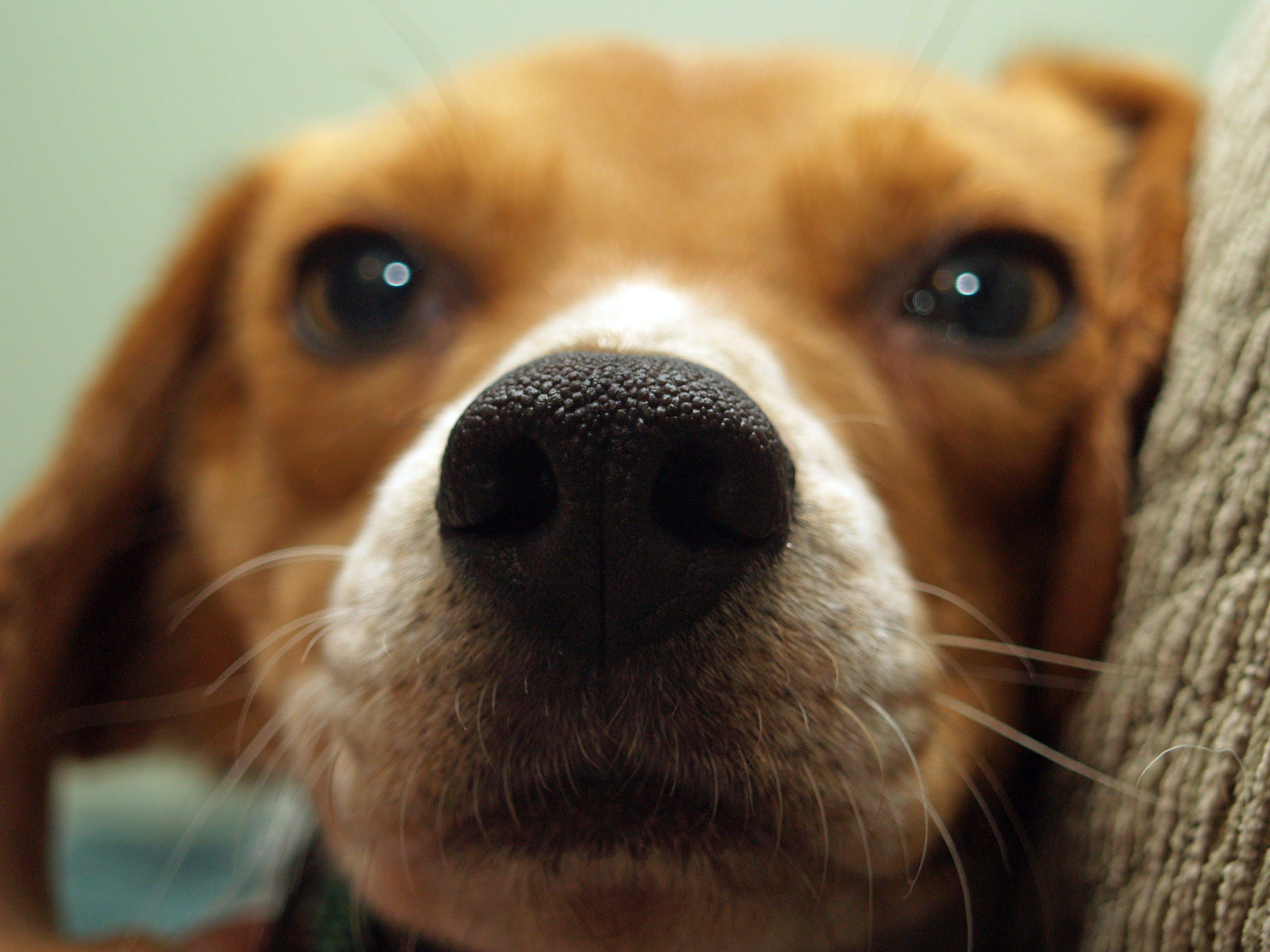 Closeup Photo of Tan and White Beagle