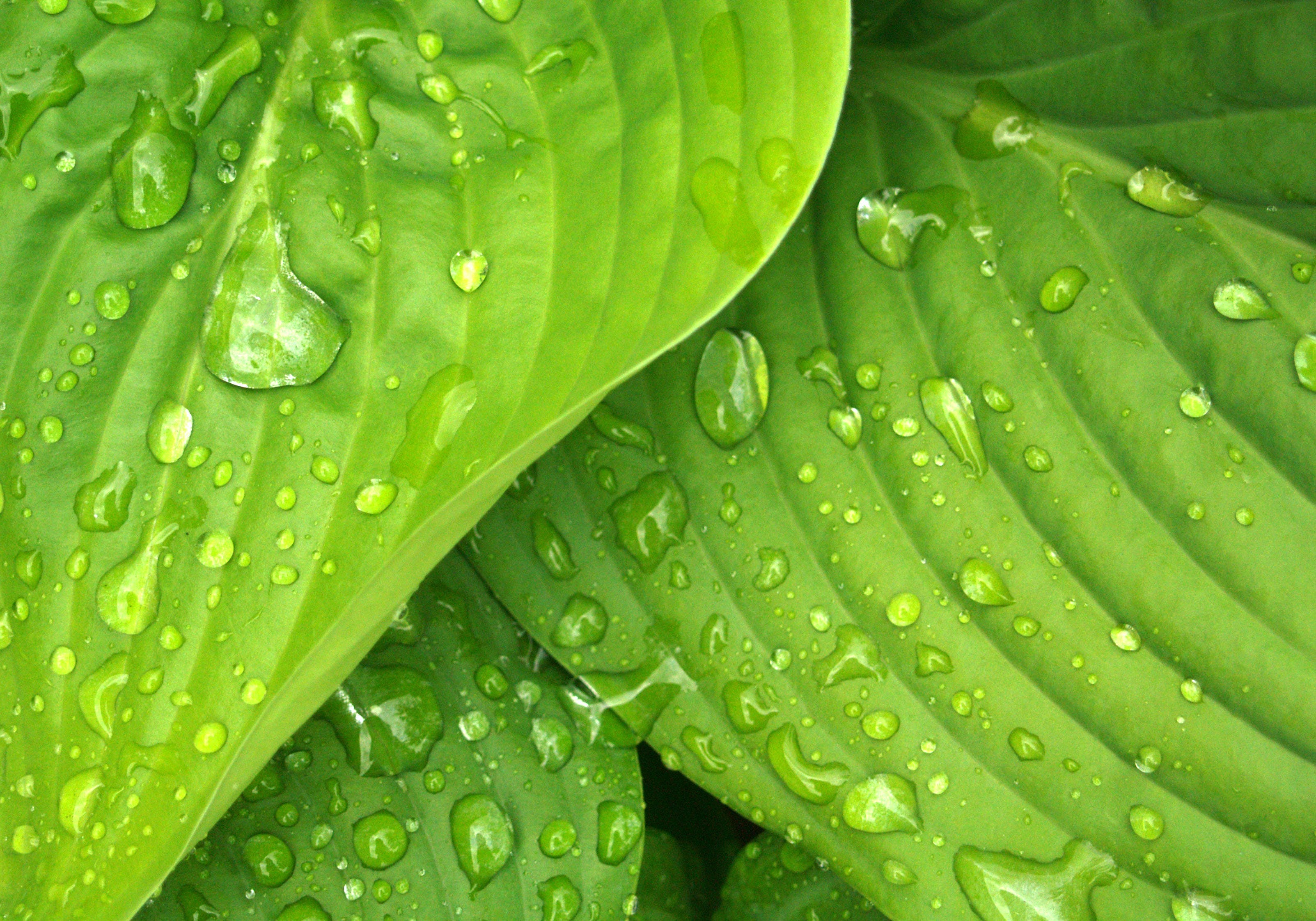 Water Dews on Green Leaves