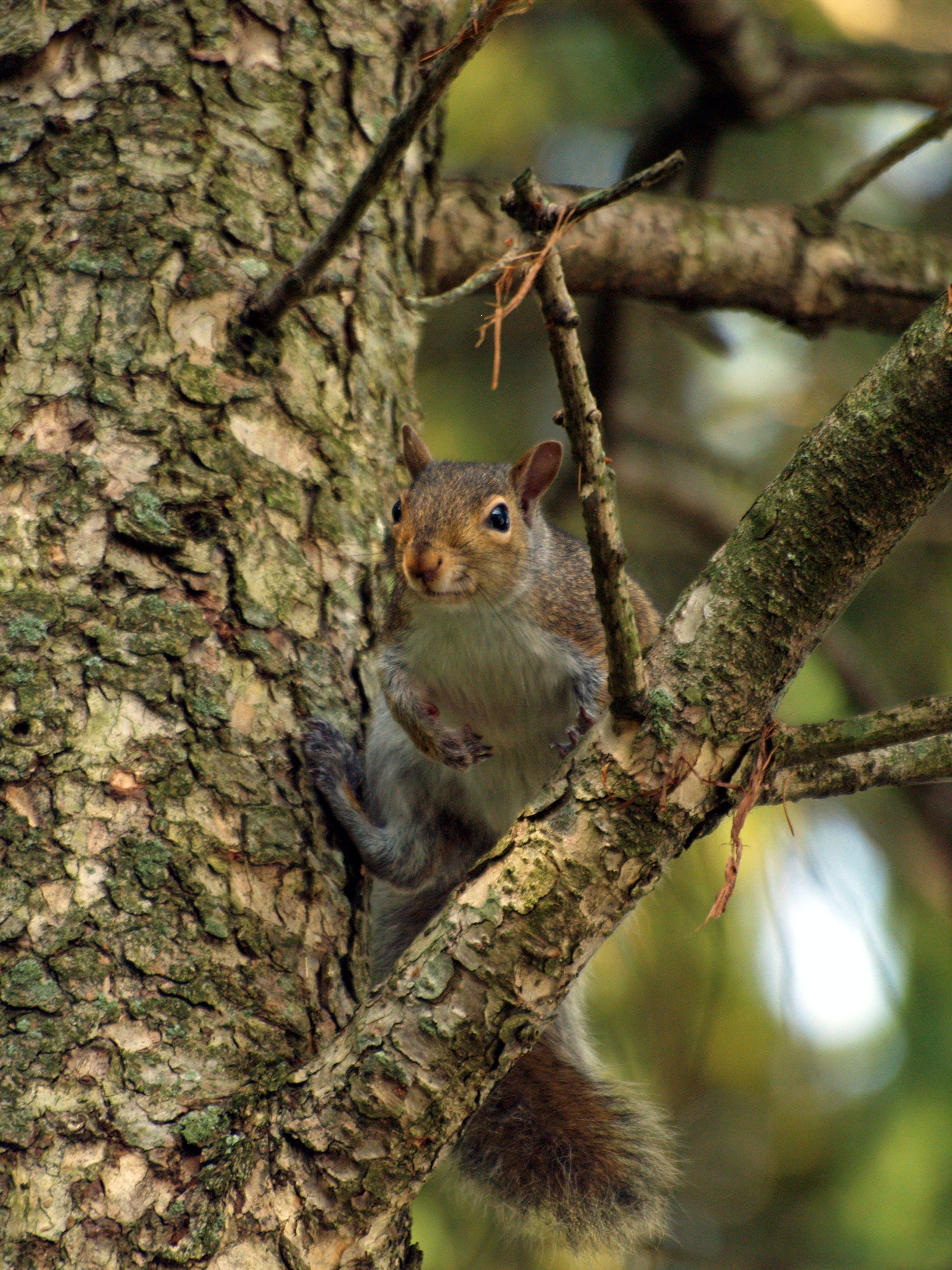Free stock photo of animals, nature, squirrel, trees