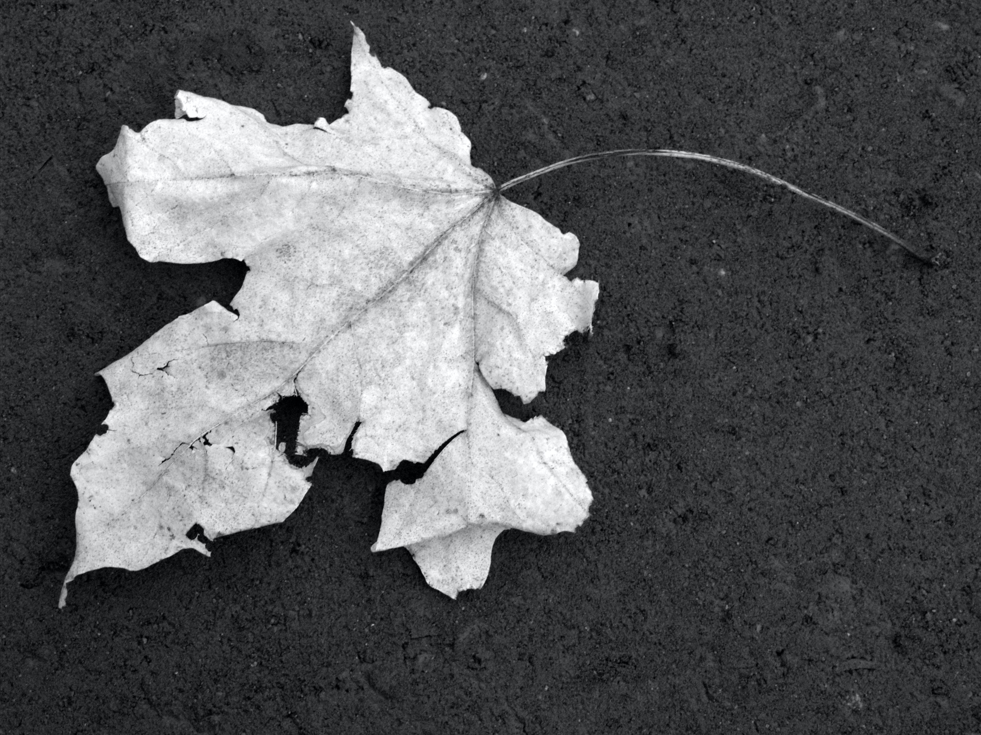 Free stock photo of black-and-white, leaf