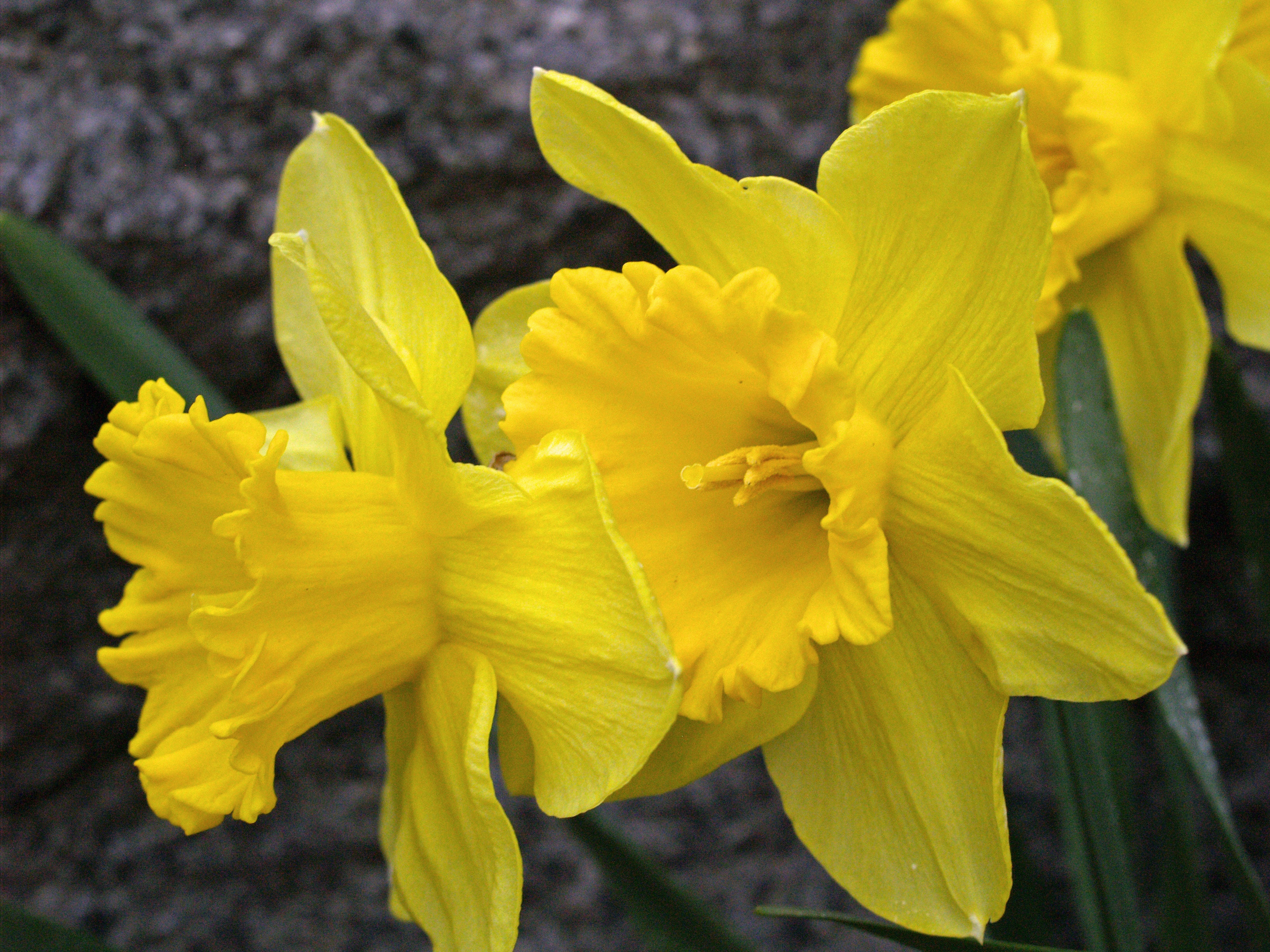 Free Stock Photo Of Daffodils Easter Flowers