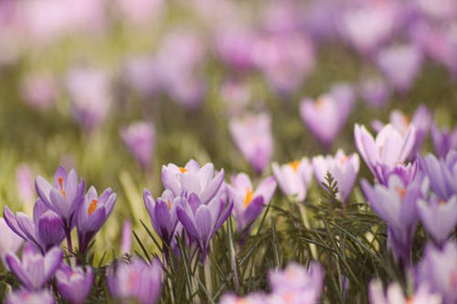 Purple Crocus Flowers in Bloom