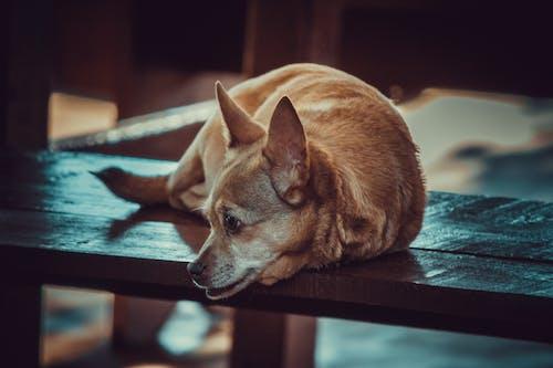 chihuahua, Evcil Hayvan, evcil hayvan fotoğrafçılığı içeren Ücretsiz stok fotoğraf