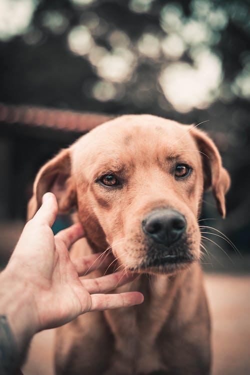Gratis lagerfoto af bokeh, brun hund, brun øjet hund, cachorro