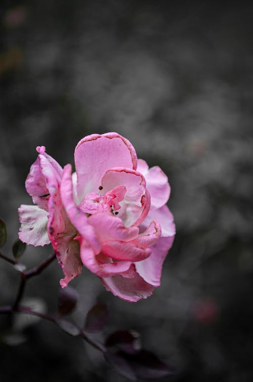 Free stock photo of pink flower, زهرة, زهرة جميلة
