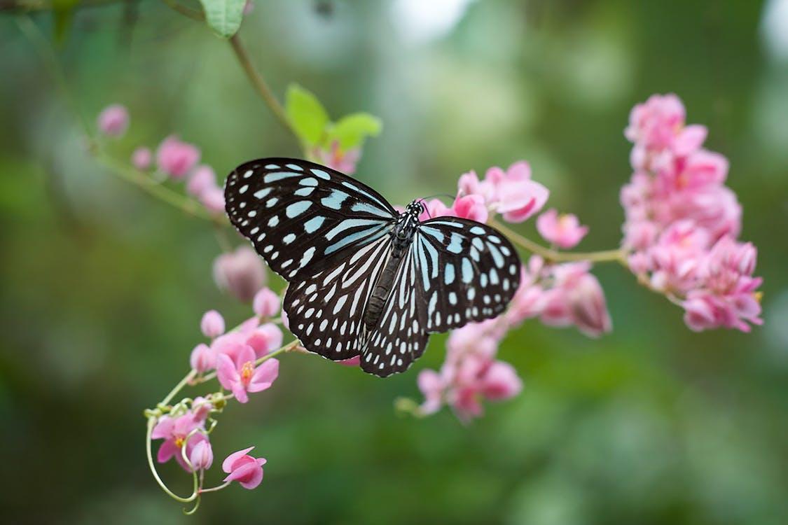 Farfalla In Bianco E Nero Appollaiato Sul Fiore Rosa In Fotografia Ravvicinata