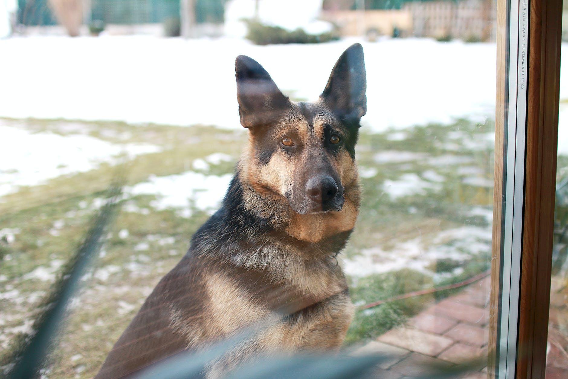 german shepherd as a guard dog