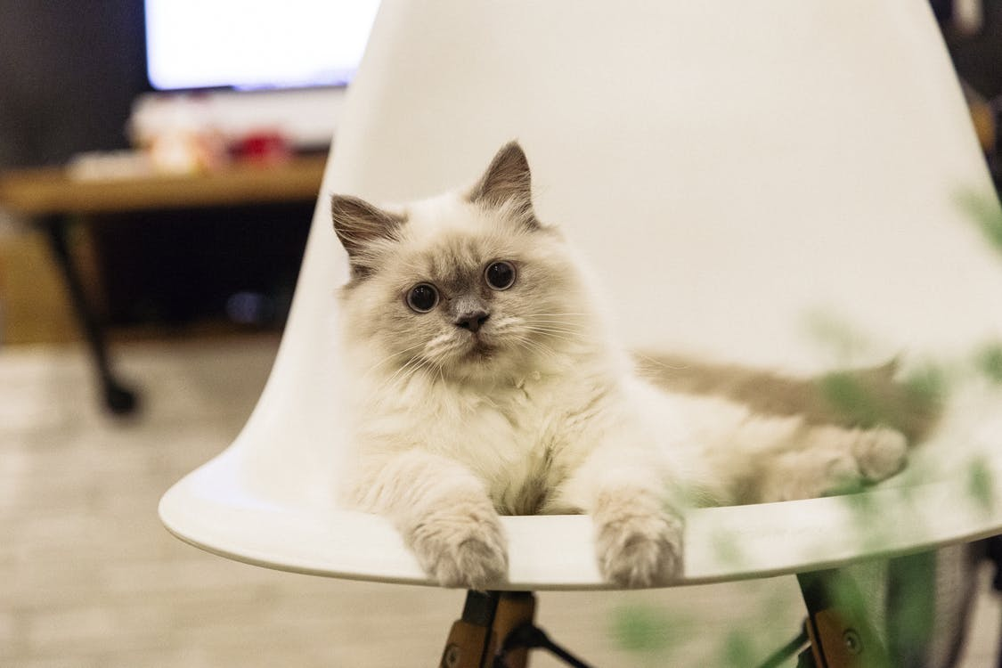 Short-haired White Cat on Chair