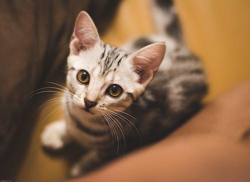 凝視, 看著, 美國短毛貓 的 免費圖庫相片