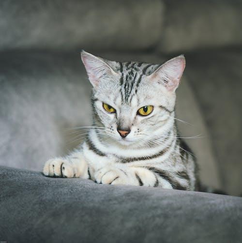 Free stock photo of bicolor cat, cat, tabby cat