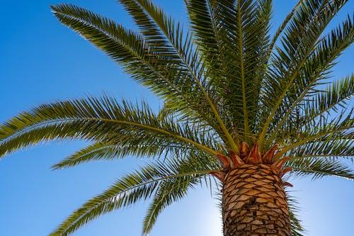 Groene Palmboom Onder Blauwe Hemel