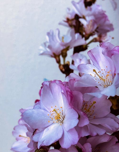 Kostenloses Stock Foto zu baum, blume, blütenblätter, kirsche
