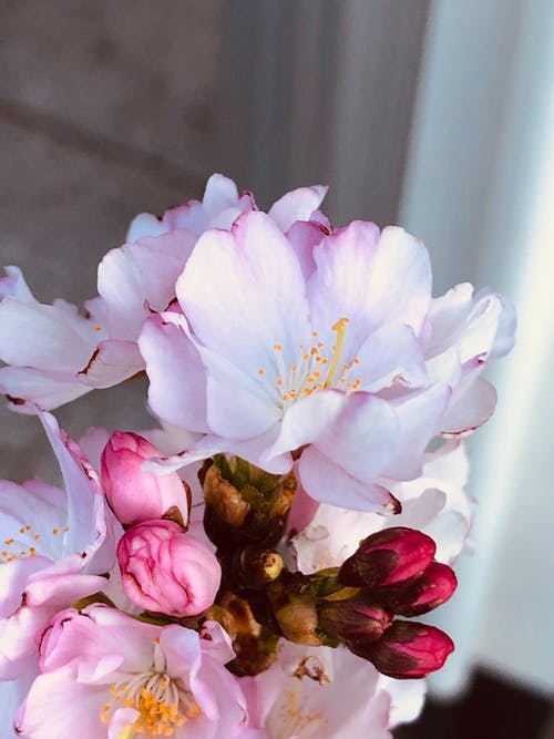 Kostenloses Stock Foto zu baum, blume, blütenblätter, frühling