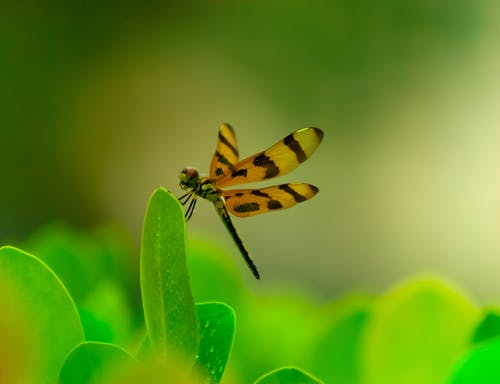 Yellow and Black Dragonfly Perched on Green Leaf in Close Up Photography