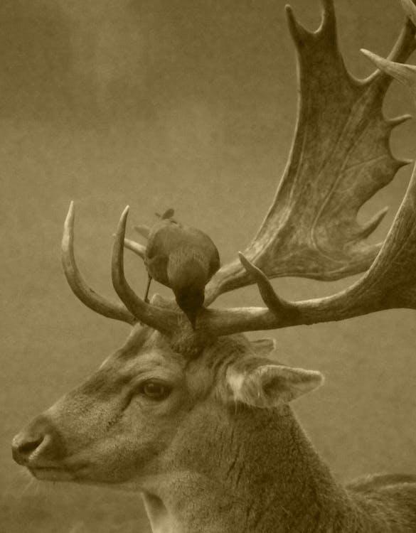 動物, 鹿