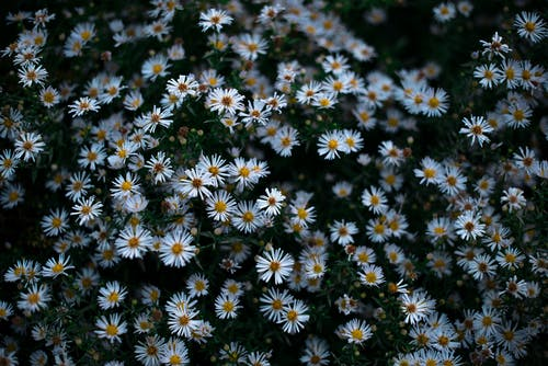 Free stock photo of beauty of nature, daisy, flower buds, flower field