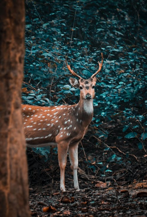 Brown Deer in Forest