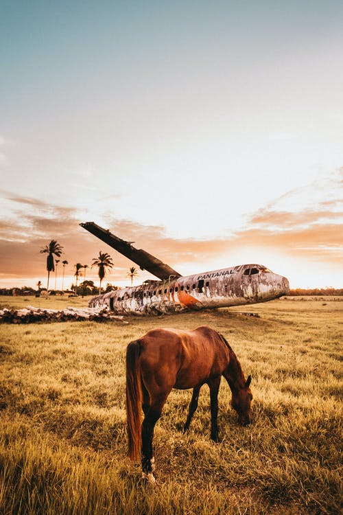 Horse grazing on pasture near crushed abandoned aircraft at sunset