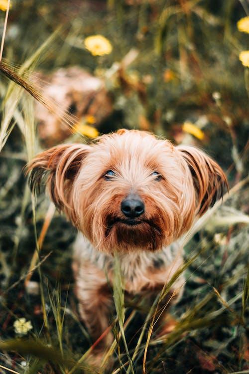 коричнево белая длинношерстная маленькая собака