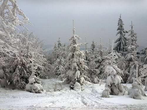 Free stock photo of conifers, mountains, winter