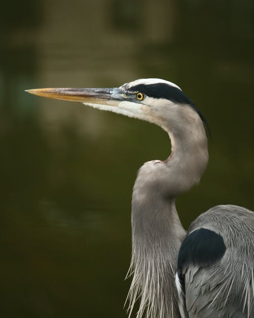 Grey Heron on Water