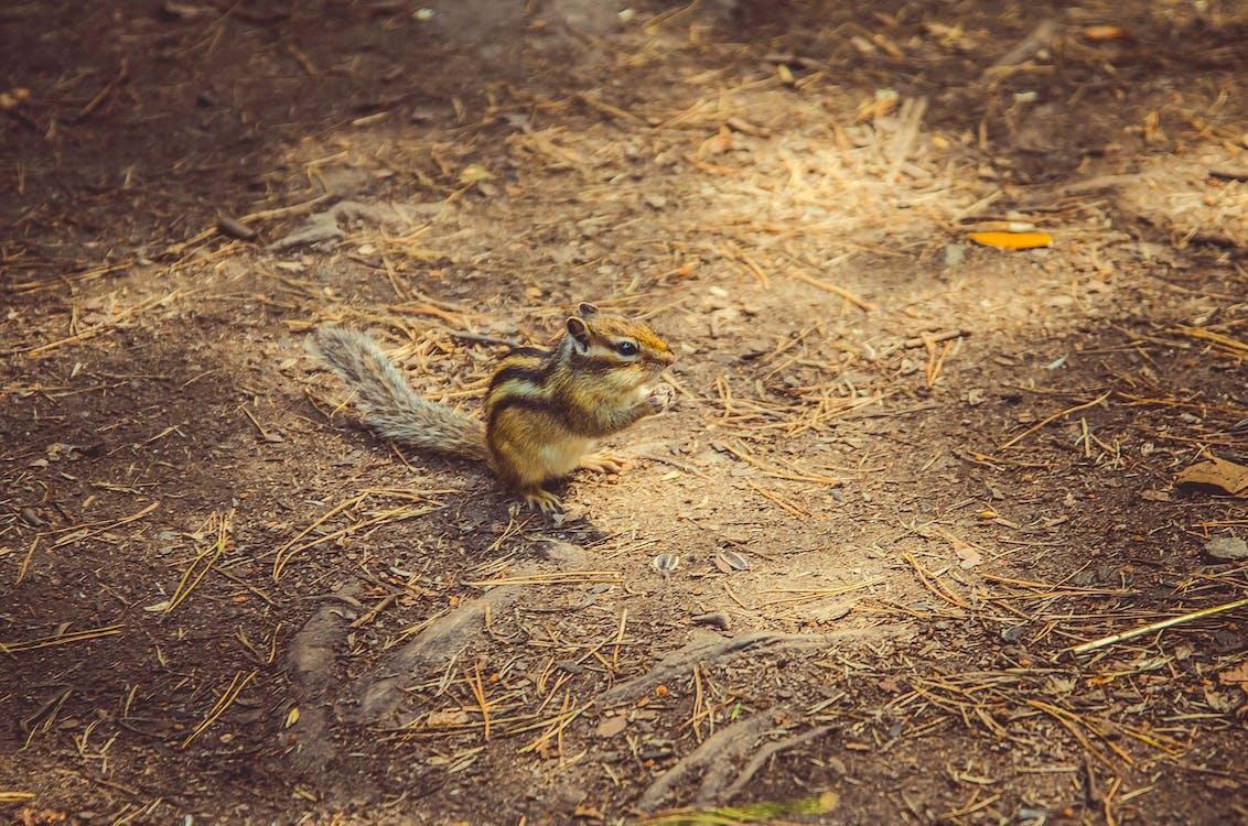 chipmunk, estate, natura