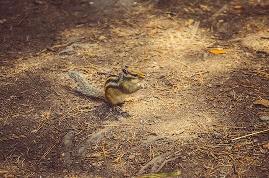 Free stock photo of nature, summer, chipmunk