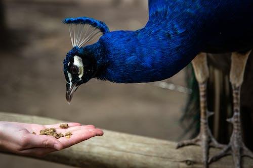 Person Feeding Blue Peacock