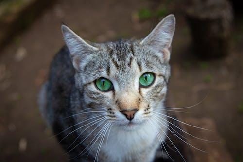 Gato Atigrado Marrón En Fotografía De Primer Plano