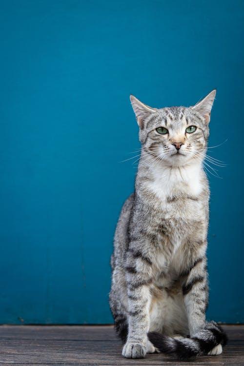 Gato Atigrado Plateado Sobre Textil Azul