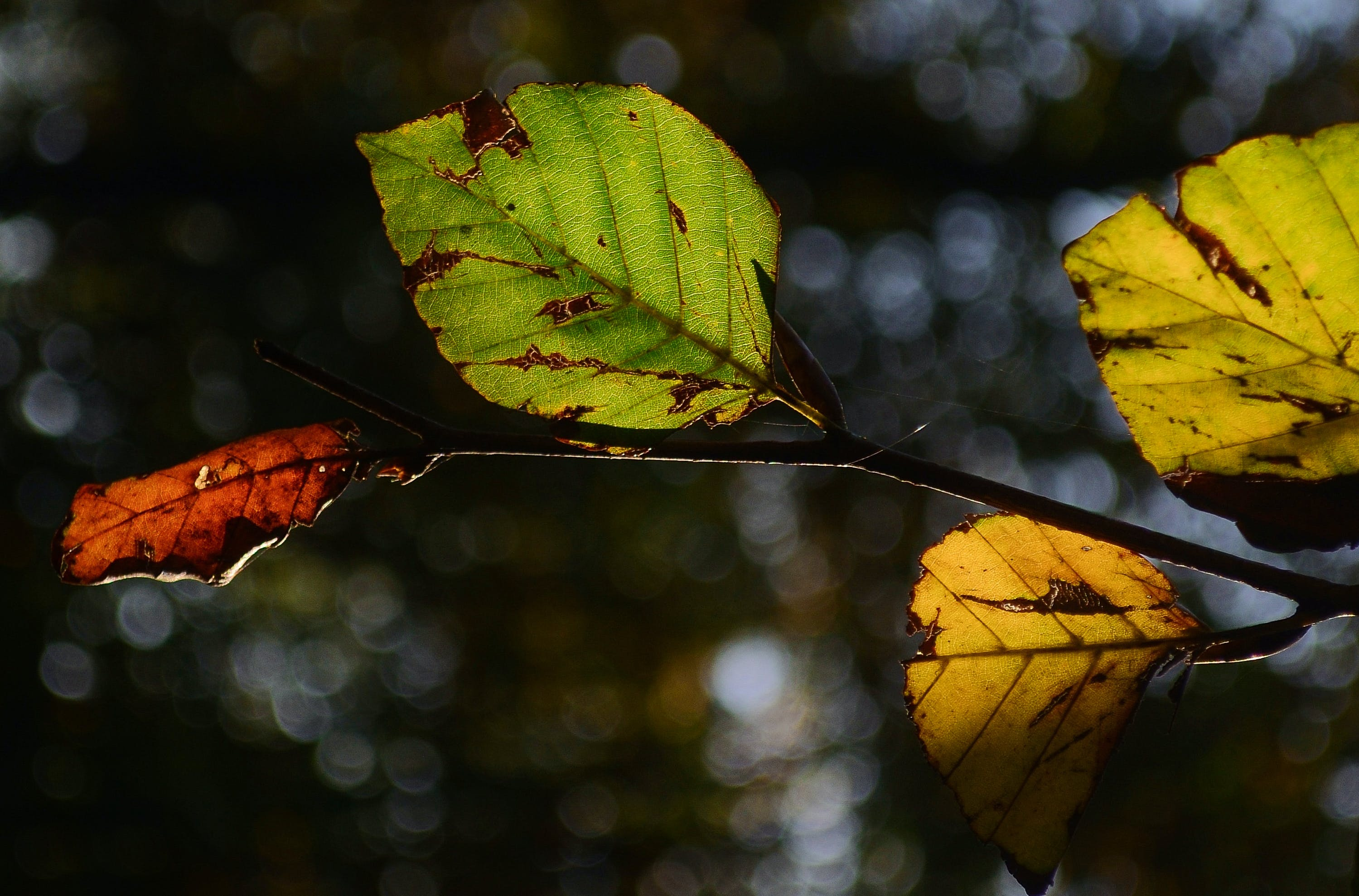 autumn, beech, leaf