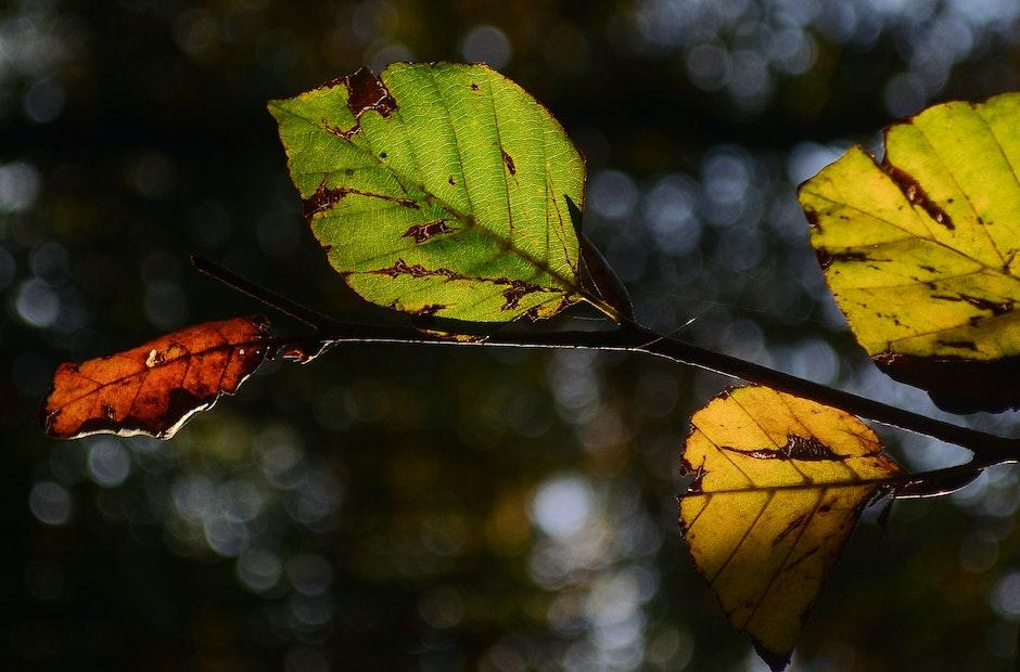 autumn, beech, leaf