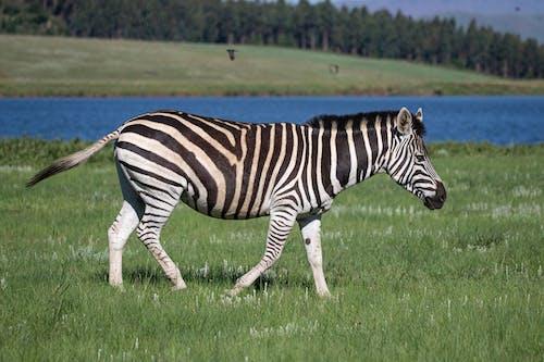 在綠草地上吃草的斑馬