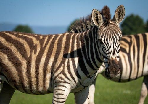Zebra Die Zich Op Groen Gras Bevindt