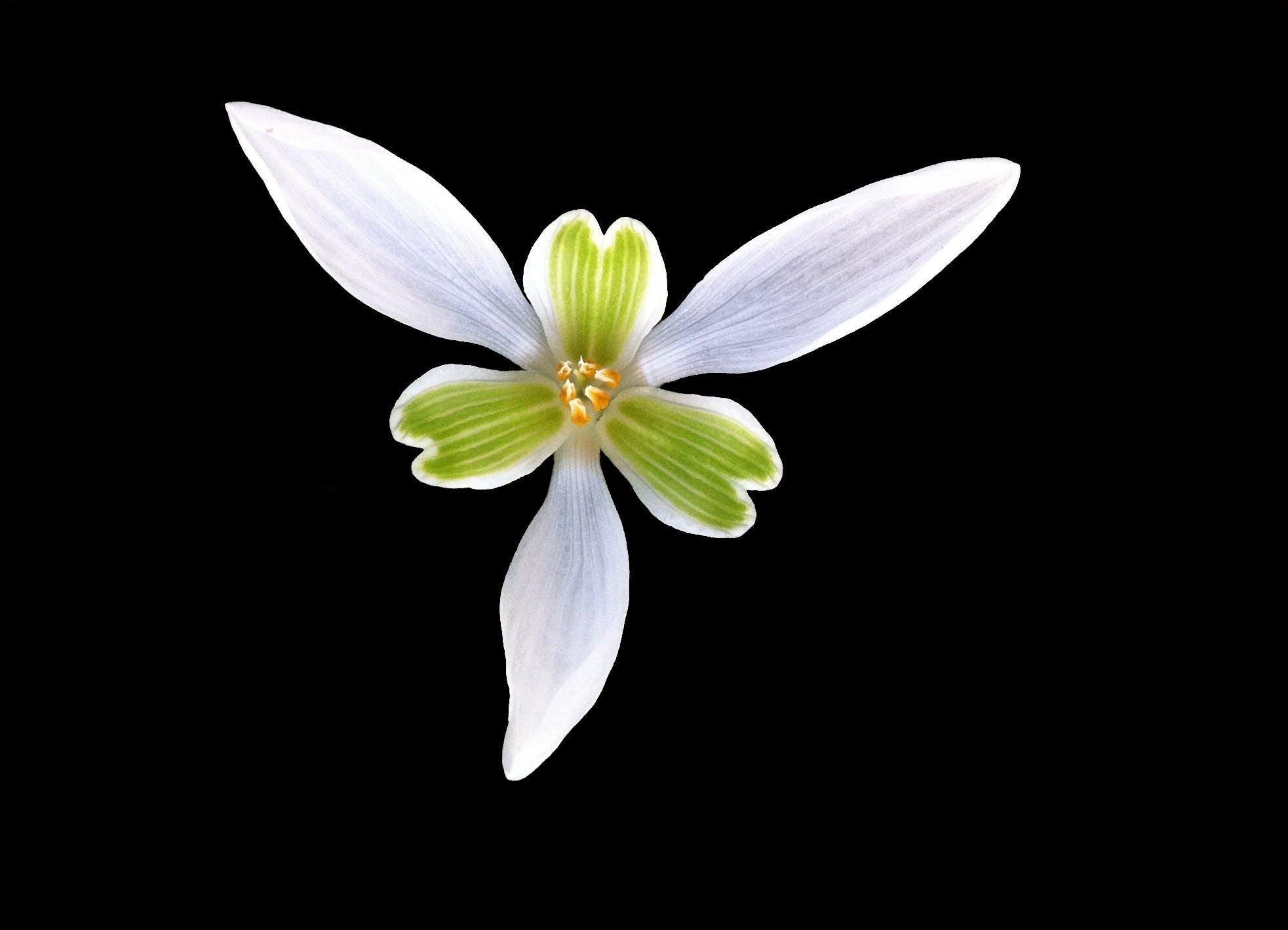 Green White Flower 6 Petal