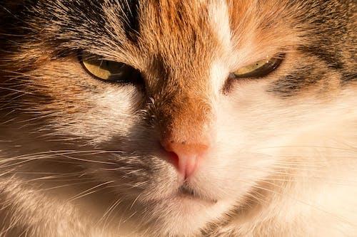 Foto d'estoc gratuïta de animal, animal domèstic, bigotis, felí