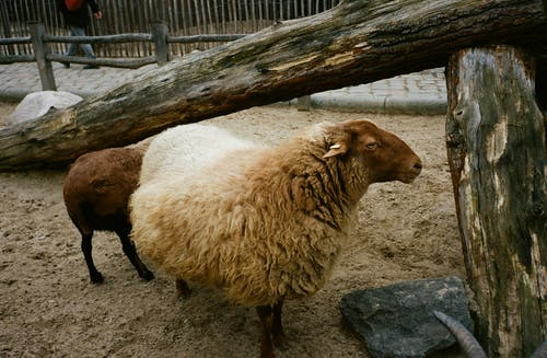 Side view of fluffy domestic sheep standing in enclosure of countryside in daytime