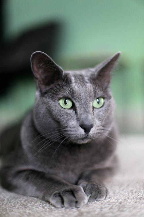 クローズアップ写真でロシアンブルーの猫