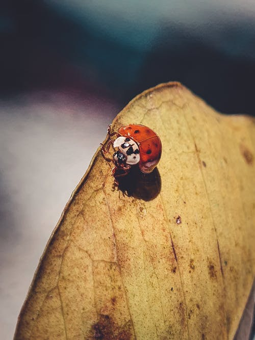 Red Ladybug on Brown Leaf in Close Up Photography