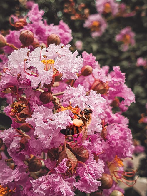Free stock photo of bee, blooming flowers, pink flower