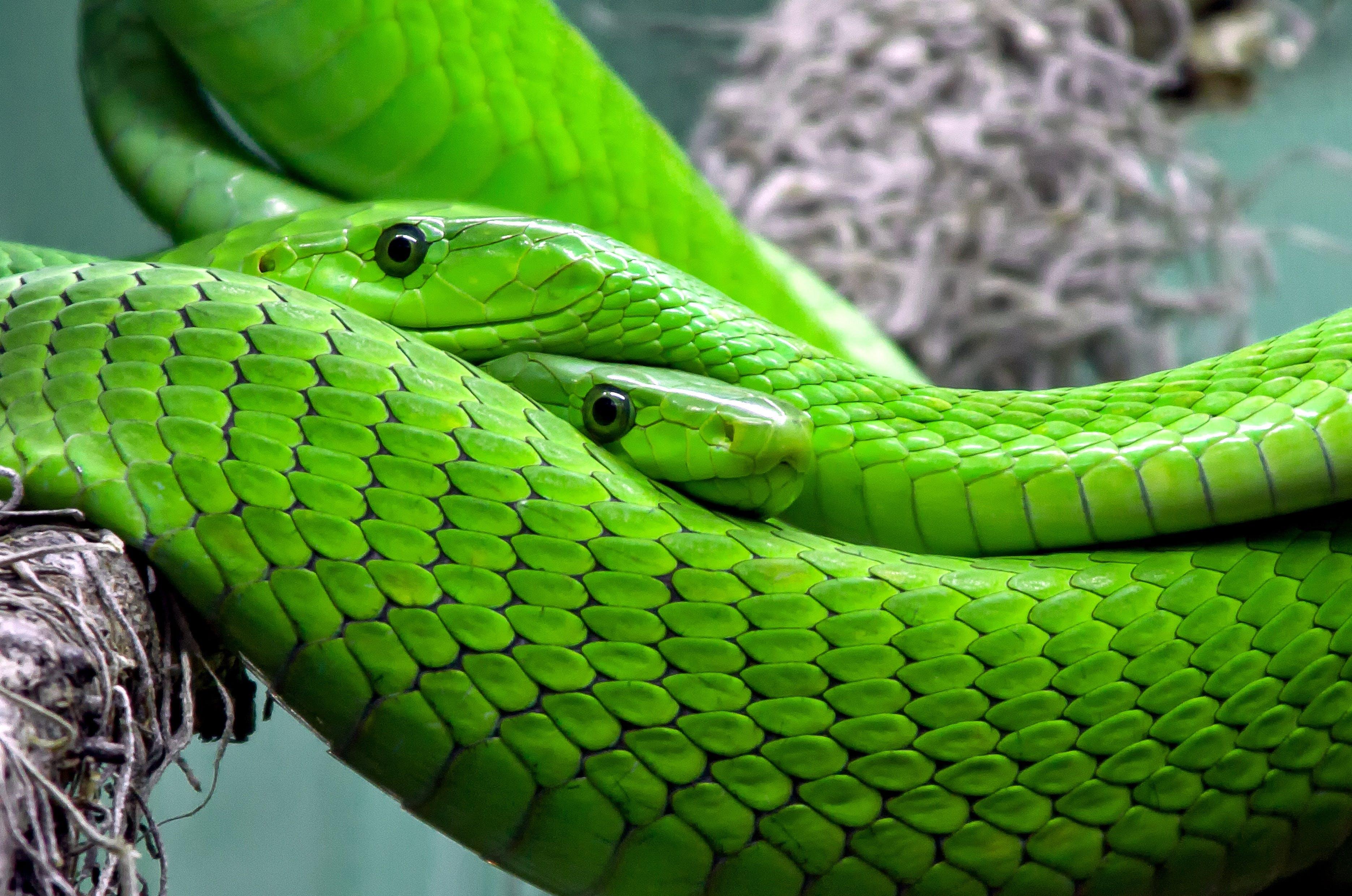 Kostenloses Stock Foto zu eidechse, gift, giftig, grün mamba