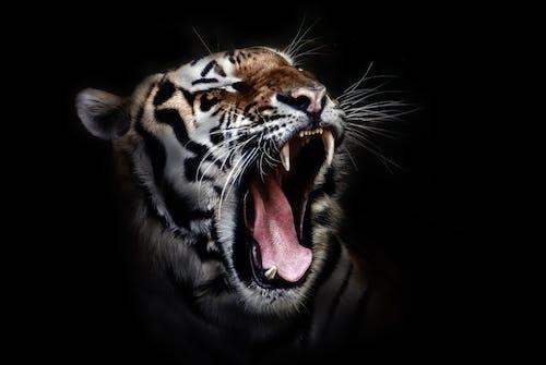 Бесплатное стоковое фото с дикая кошка, дикая природа, животное, снимок крупным планом