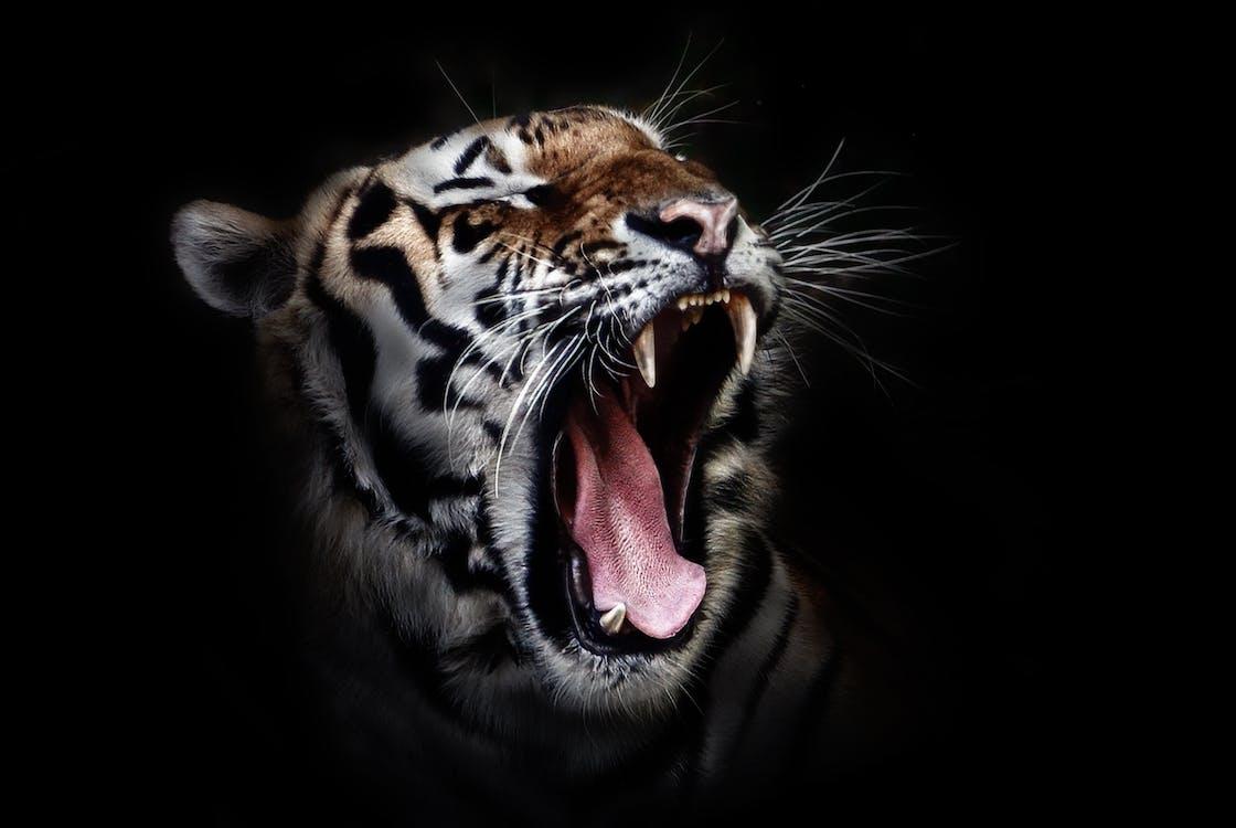 άγρια γάτα, άγρια φύση, αγριόγατα