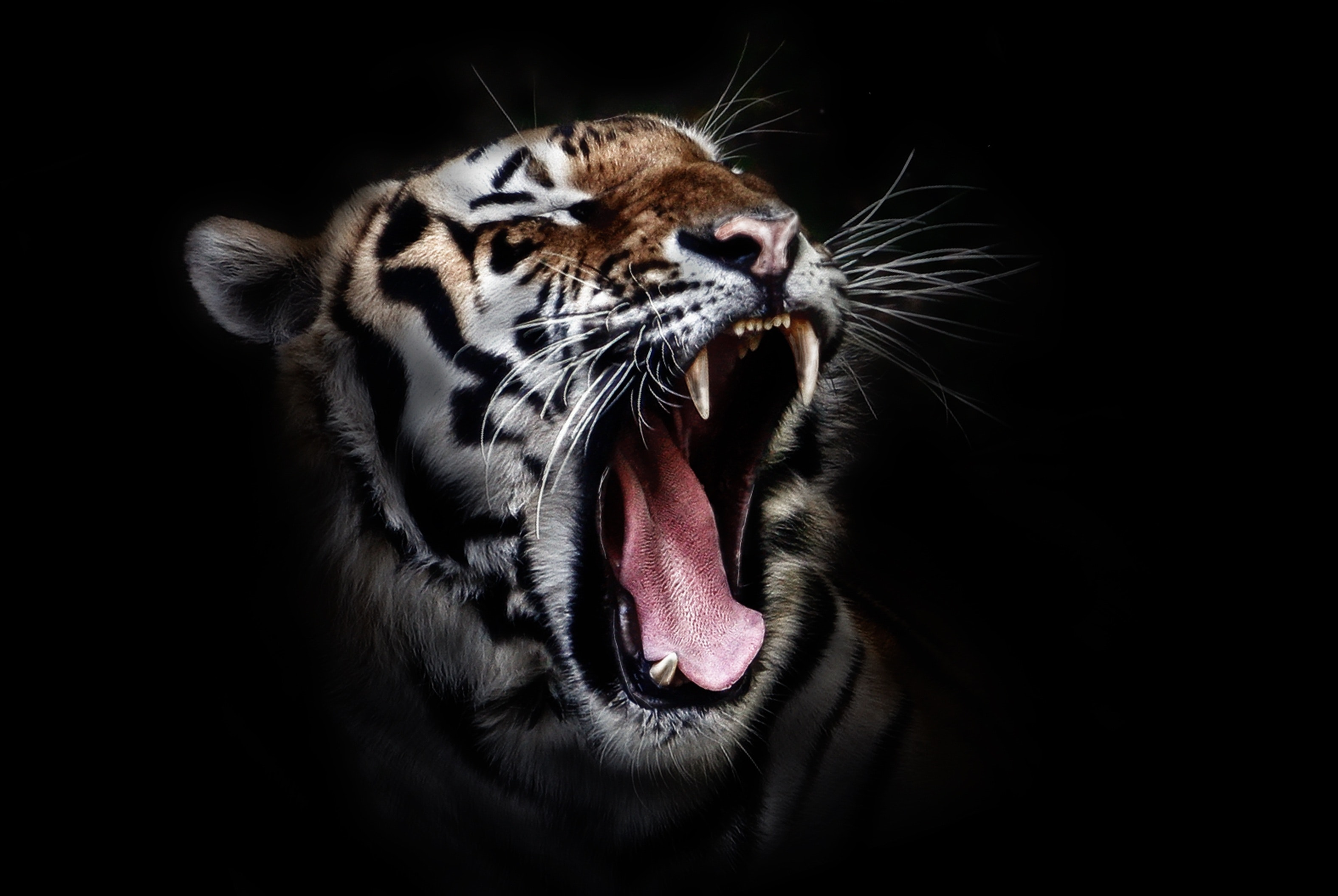 Nature Lion Big Cats Fury Angry Portrait Monochrome: Photo Of A Tiger Roaring · Free Stock Photo